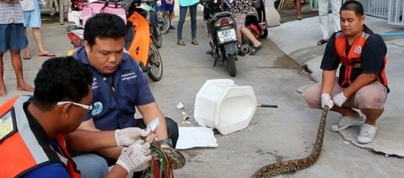 Dueling Pythons in Bangkok, Man Gets Attacked on Toilet